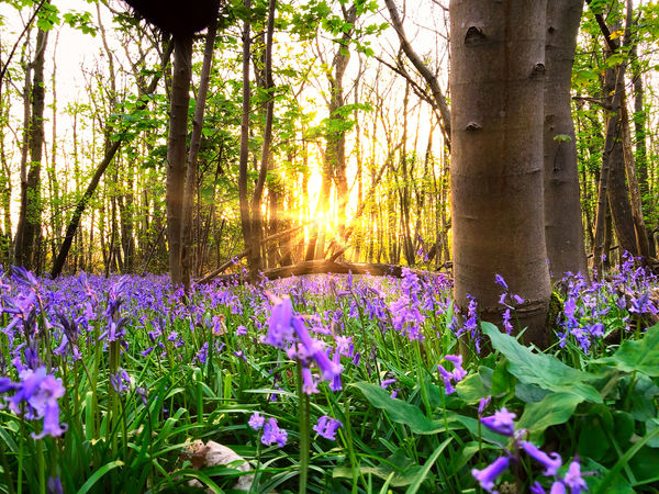 Bluebell forest Beauty In Nature Field Flower Flower Head Flowerbed Flowering Plant Forest Freshness Green Color Growth Land Nature No People Outdoors Plant Purple Scenics - Nature Springtime Sunlight Tranquil Scene Tranquility Tree Tree Trunk Trunk