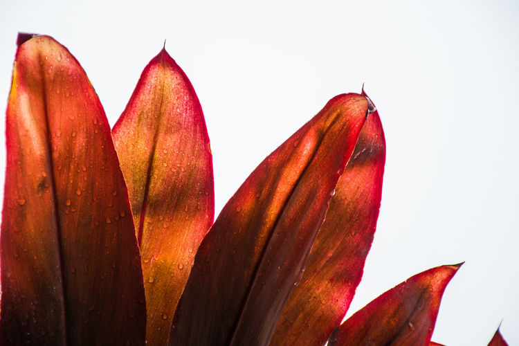 Close-up of red flower against clear sky