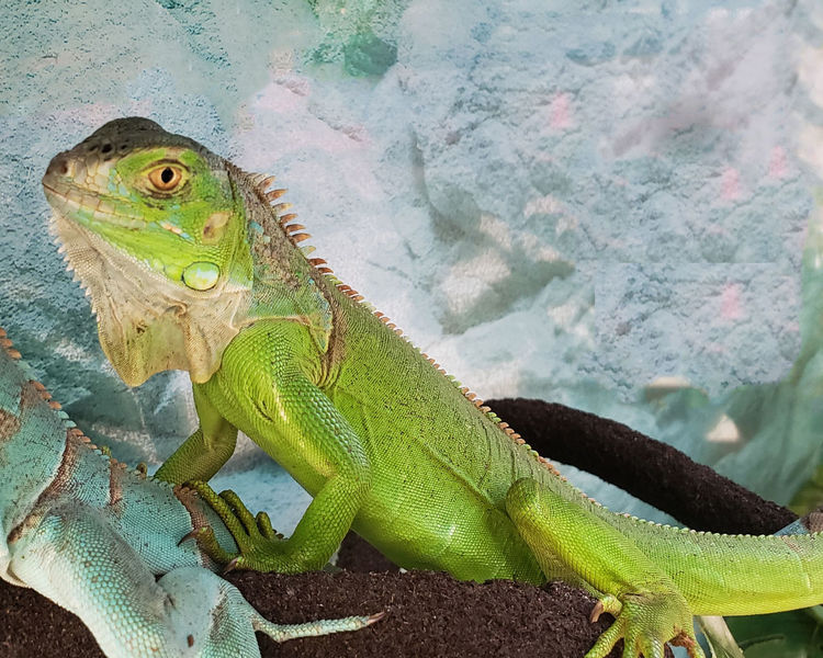 #iguana #jodie Sims #jodiesims #photographerinoz Iguana Animal Animal Body Part Animal Eye Animal Scale Animal Themes Animal Wildlife Animals In The Wild Close-up Day Focus On Foreground Green Color High Angle View Iguana Lizard Nature No People Outdoors Reptile Side View Vertebrate