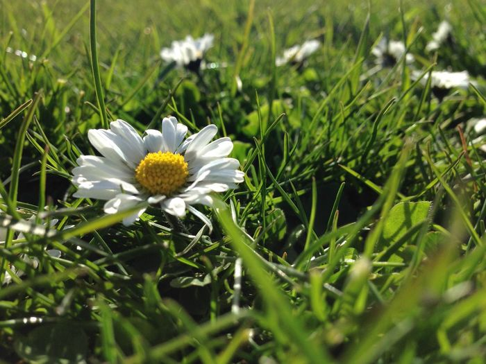 Daisy Flower Flower Green Color Nature Plant