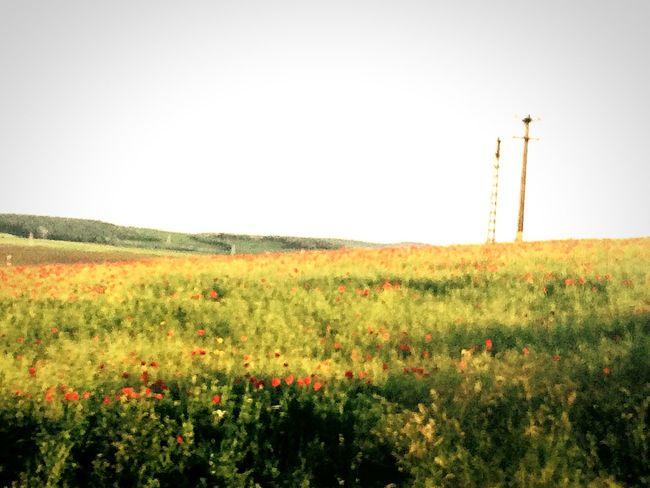 Poppy Poppy Flowers Flowers Opium Poppies Opium Summer Sun Landscape Enjoying Life Nature Feel The Journey Nature Makes Me Smile Love ♥ Red