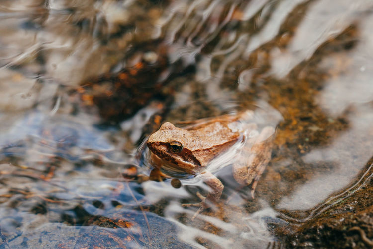 Brown frog in water Amphibian Animal Themes Animal Wildlife Animals In The Wild Beauty In Nature Close-up Ecology Environment EyeEm Best Shots EyeEm Nature Lover Frog Macro Macro Photography Nature One Animal Outdoors River Water