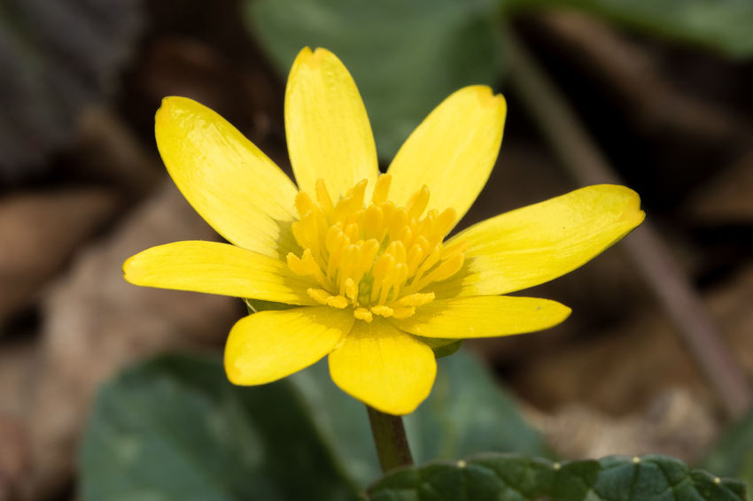 Lesser Celandine in a Spring wood in England Beauty In Nature Blooming Close-up Day Flower Flower Head Flowers Focus On Foreground Fragility Freshness Growth In Bloom Nature Petal Plant Pollen Single Flower Spring Spring Flowers Wild Flowers Wild Flowers Bloom Woodland Flowers Yellow
