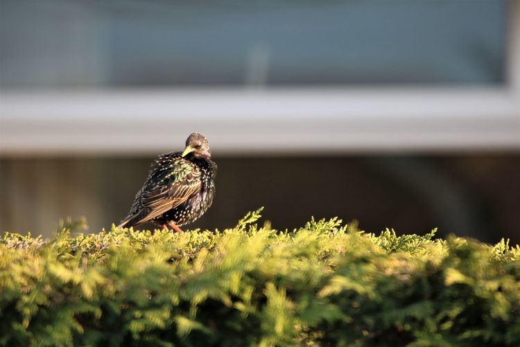 Close-up of starling perching on a plant