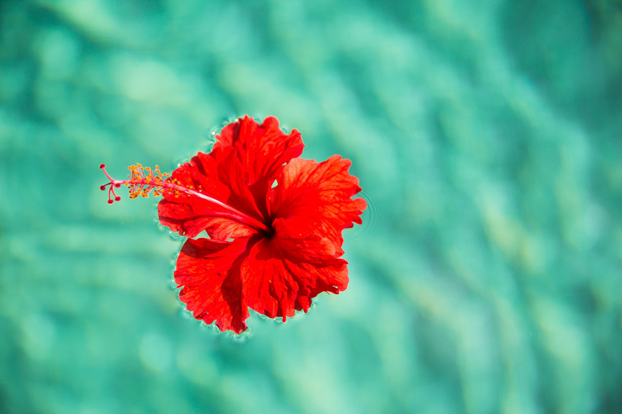 red, flower, beauty in nature, nature, hibiscus, petal, fragility, flower head, growth, focus on foreground, plant, freshness, no people, outdoors, close-up, day
