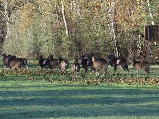Week end en Sologne Nature Sologne Wild Sheep