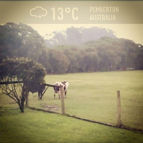 Cows don't care Rainy day Pemberton