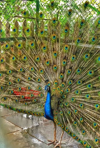 Peacock Bird One Animal Animal Themes Beauty In Nature Fanned Out Peacock Feather Animals In The Wild Animal Wildlife Multi Colored Nature Outdoors No People Day Rattyperspective Shotonnikond5300 Rattyphotography