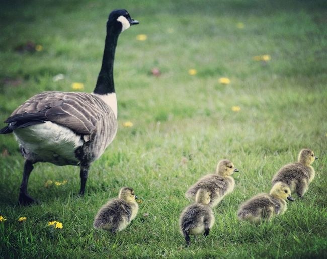 Close-Up Of Canada Goose With Cygnets On Grassy Field