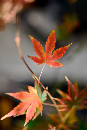 Acer Palmatum Red Leaves Acer Palmatum Autumn Beauty In Nature Change Close-up Day Growth Leaf Maple Maple Leaf Nature No People Orange Color Outdoors Red Tranquility