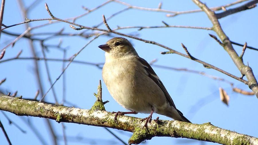 Bird Perching Tree Mourning Dove Branch Winter Bird Of Prey Clear Sky Blue Full Length