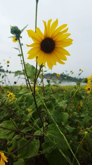 Check This Out Puddingstonelake Scenery Lake Flower Beauty Nature Sunflower