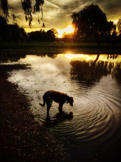 Summer Dogs LEO... The One Eyed Lurcher... I Love My Dog Lurcher Animal Portrait Last Evening Sun