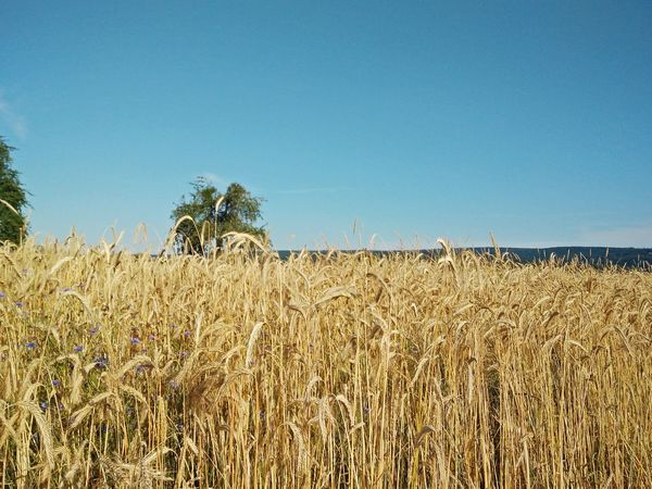 Cornfield Blue Sky Wonderful Nature Yellow And Blue Trees And Sky Taking Photos Relaxing Hello Summer!