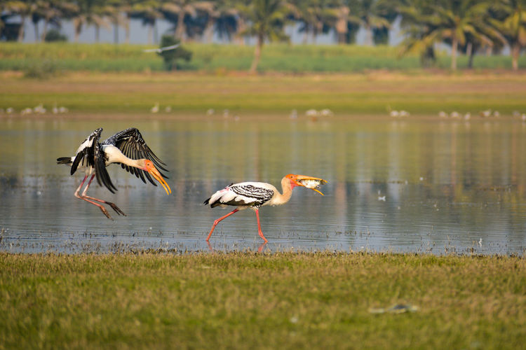 Painted Storks. Snatching Food Bird Water Flying Lake Animal Themes Grass Ibis Flamingo Foraging Preening Animal Neck Tropical Bird Wading Colony Wetland Swamp Water Bird Hornbill Scarlet Macaw Egret Macaw Freshwater Bird Stork Marsh Spread Wings White Stork