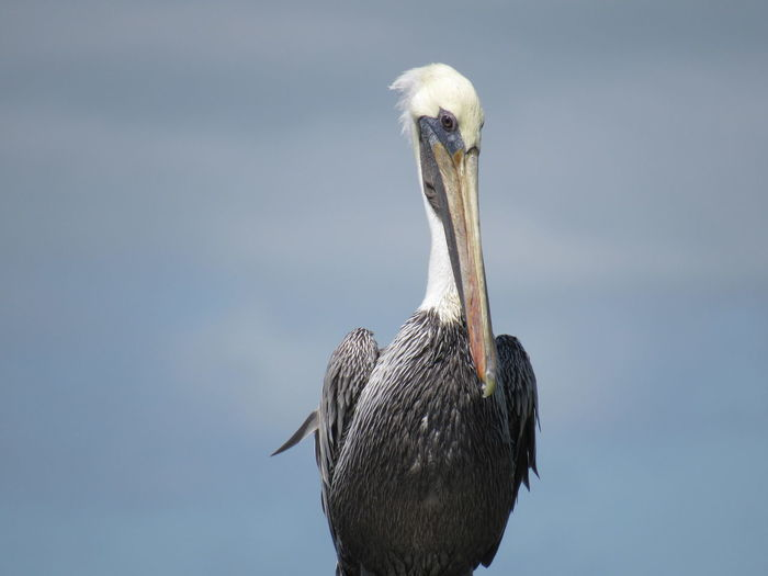 Animal Themes Animal Wildlife Animals In The Wild Birds That Fly Black And White Blue Sky Brown Pelican Close Up Nature Feathers Long Beak Ocean Bird One Animal Wildlife & Nature Premium Collection