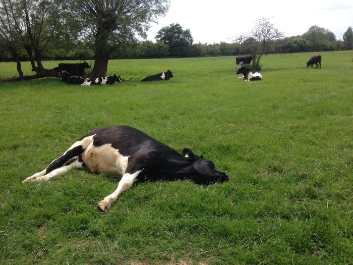 Just taking a snooze ... Bullock Bullocks Fresian Herd Herd Of Cows Grass Animal Themes Meadow Tree Day Mammal Outdoors Nature No People Nature Rural Scene Flatford Mill