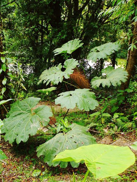 Nature Leaf Growth Green Color No People Beauty In Nature Outdoors Tree Plant Day Animals In The Wild Animal Themes Freshness Stepping Stones Steps Growth Huge Leaves Big Leaf Jungle Plant Going Up Forest Cloud Forest Costa Rica Leaves