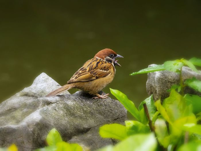 Close-up of sparrow perching on rock