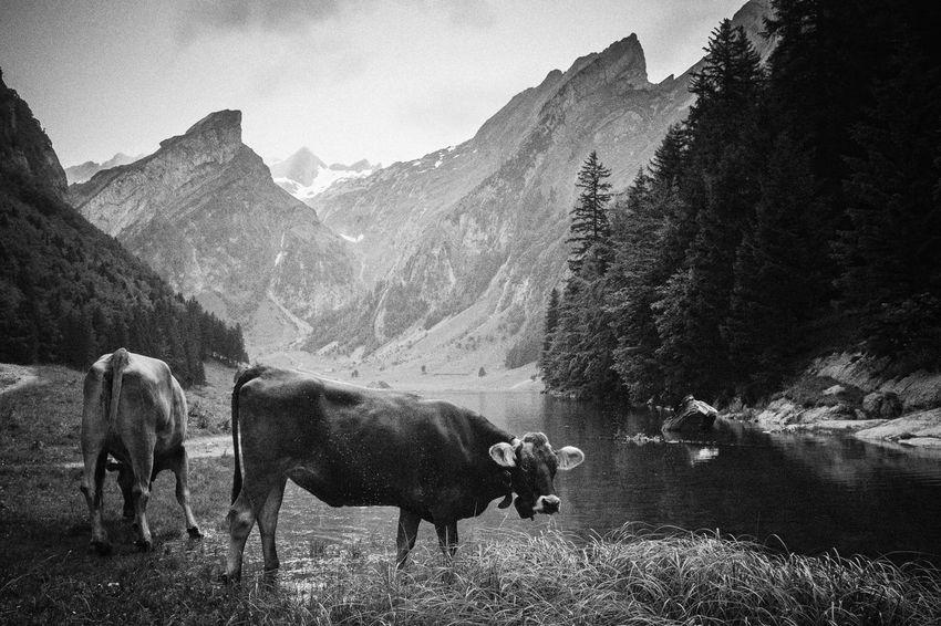 Cows Europe Monochrome Photography Mountains Scenics Seealpsee Swiss Cows Switzerland