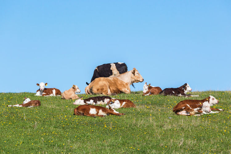 View of cows on field against sky