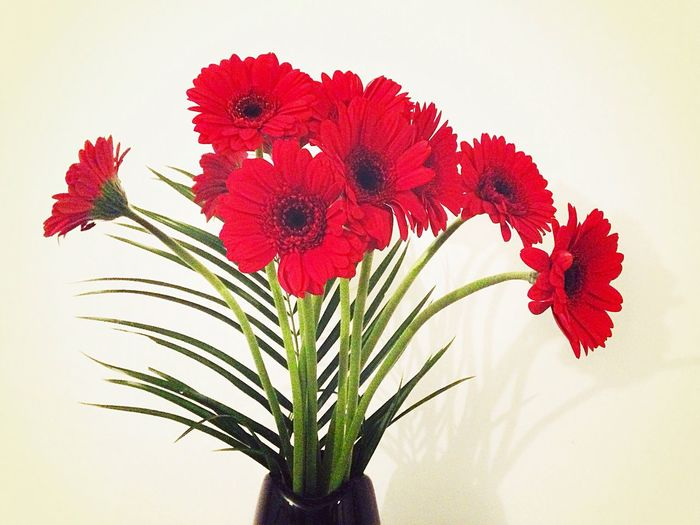 109/365 April 19 2017 One Year Project My Birthday Gerbera Daisy Flower Red Beauty In Nature Petal No People Nature Flower Head Freshness Fragility Plant Growth Close-up White Background Indoors  Day