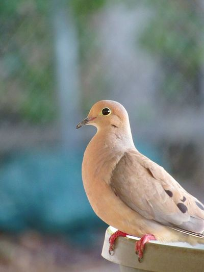 Mourning Dove Birds🐦⛅ Doves Close-up Bird Watching Bird Photography Birdfeeder Outdoor Photography Outside