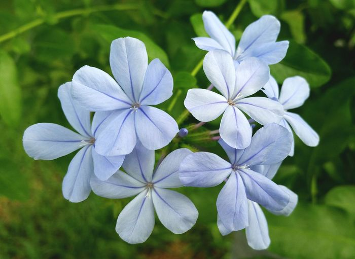 Imperial Blue Plumbago Flower Beauty In Nature Nature Blue Plumbago Front Or Back Yard Plant Close-up Day Outdoors Flower Head No People Leaf Freshness Fragility Popular Photos Beauty In Nature