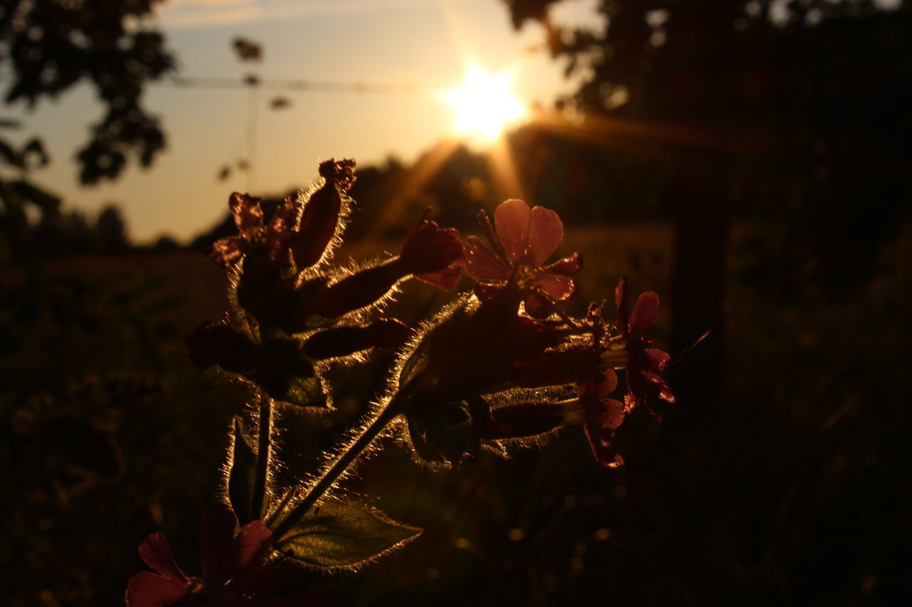 sun, sunset, nature, growth, plant, beauty in nature, no people, focus on foreground, sunlight, close-up, flower, outdoors, fragility, freshness, day
