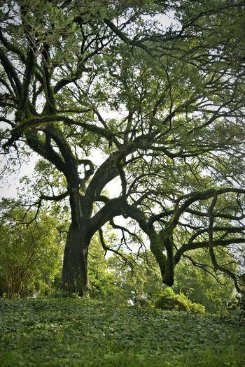 TreePorn Hugging A Tree in Natchez