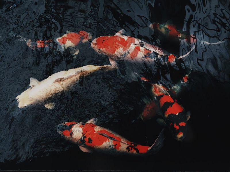 Pet Fish Koi Carp Animal Themes Sea Life No People Animals In The Wild Carp Swimming Nature Water Outdoors Koi Day UnderSea Koi Fish Japanese Fish Iphoneonly Pet Photography  IPhoneography Pets Corner Nature
