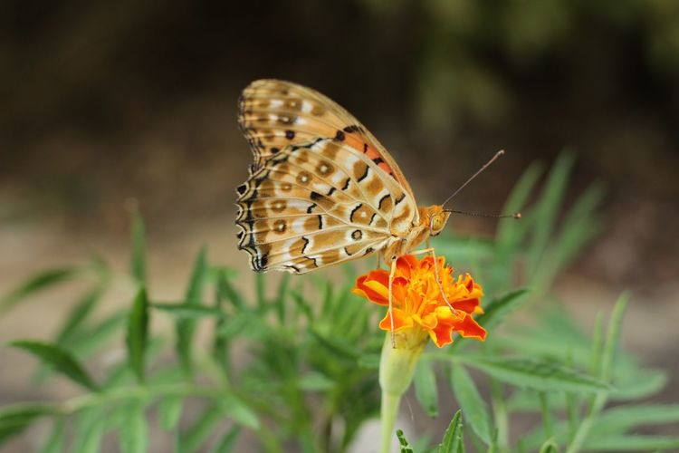 Close-up of butterfly on marigold
