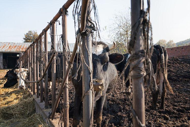 Cow Farmland