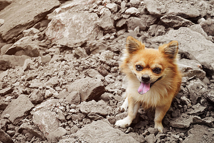 Brown chihuahua dog sitting on pile of soil