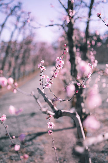 Spring Perth Beauty In Nature Blossom Branch Cherry Blossom Cherry Tree Day Flower Flower Head Flowering Plant Focus On Foreground Fragility Freshness Growth Nature No People Outdoors Pink Color Plant Plum Blossom Selective Focus Springtime Tree Twig Vulnerability