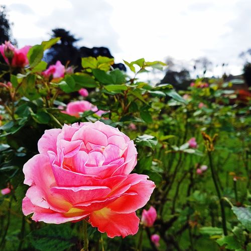 Last roses for the seasons. Winter is coming. Flower Nature Petal Growth Fragility Pink Color Flower Head Beauty In Nature Plant Freshness Day No People Focus On Foreground Close-up Outdoors Cloud - Sky Sky Blooming