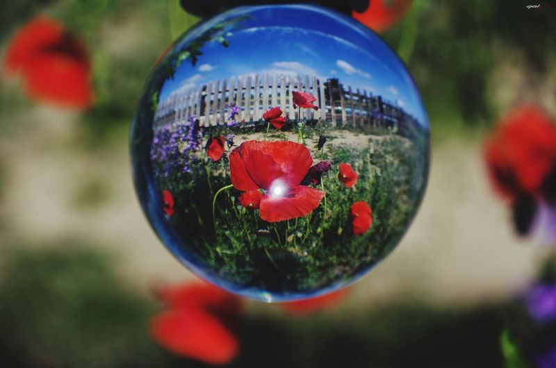 Amabola ! #amapolas #photography #EyeEmNewHere #streetphotography #EyeEm #madrid #callejeando #eyeemphotography #madrid Tree Christmas Decoration Red Christmas Poppy Sphere Close-up Grass Flower Head