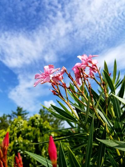Flower Plant Growth Pink Color Beauty In Nature Nature Sky Blossom Springtime Cloud - Sky No People Tree Leaf Red Freshness Flower Head Outdoors Fragility Day Close-up