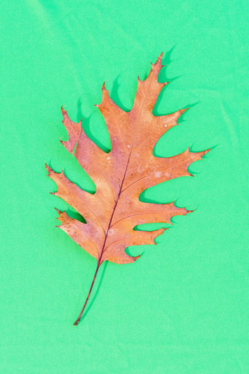 High angle view of maple leaf on green surface
