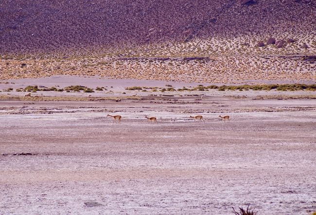 Atacama Desert Llamas Animals In The Wild Animal Themes Nature Large Group Of Animals Colony Arid Climate Desert 4500 M Above Sea Level Salt - Mineral Non Filter