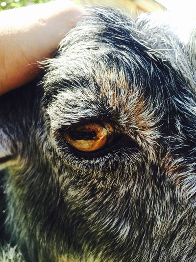 Goat 😄