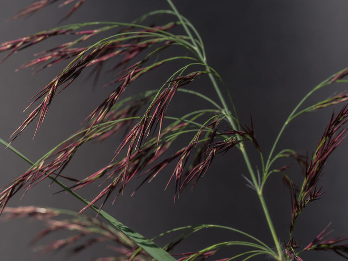 Gardening Green Natural Phragmites Australis Red Botanical Botany Cane Close Up Day Garden Growth Leaf Nature No People Outdoor Outdoors Outside Phragmites Plant Plant Part Reed