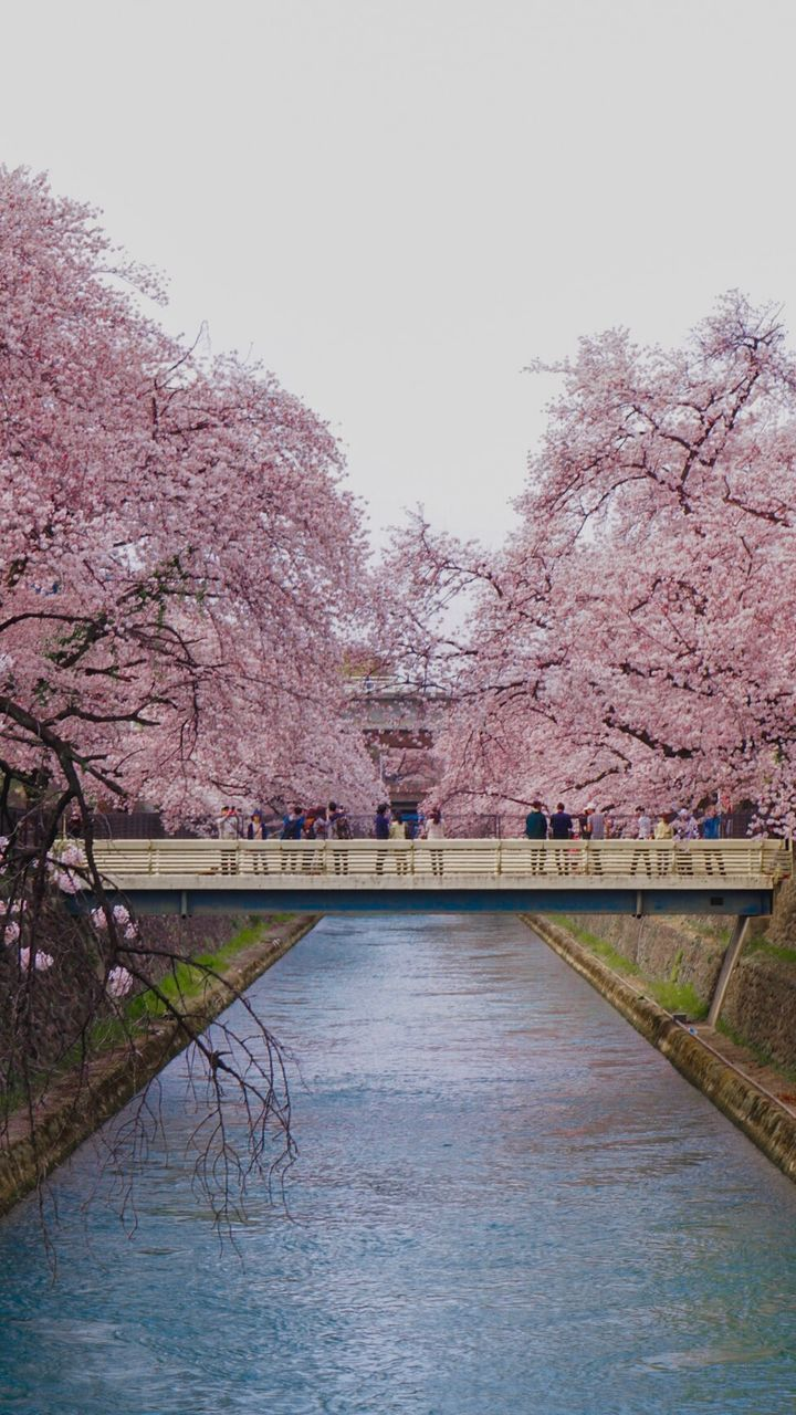 tree, plant, water, sky, built structure, connection, nature, architecture, bridge, beauty in nature, cherry blossom, river, blossom, flower, bridge - man made structure, day, flowering plant, growth, no people, springtime, cherry tree, outdoors, footbridge