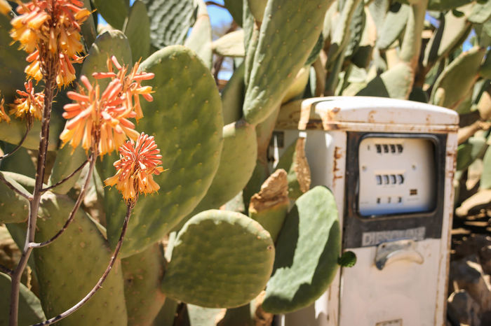 Antique Petrol Pump Cactus Cactus Flowers Close-up Outdoors