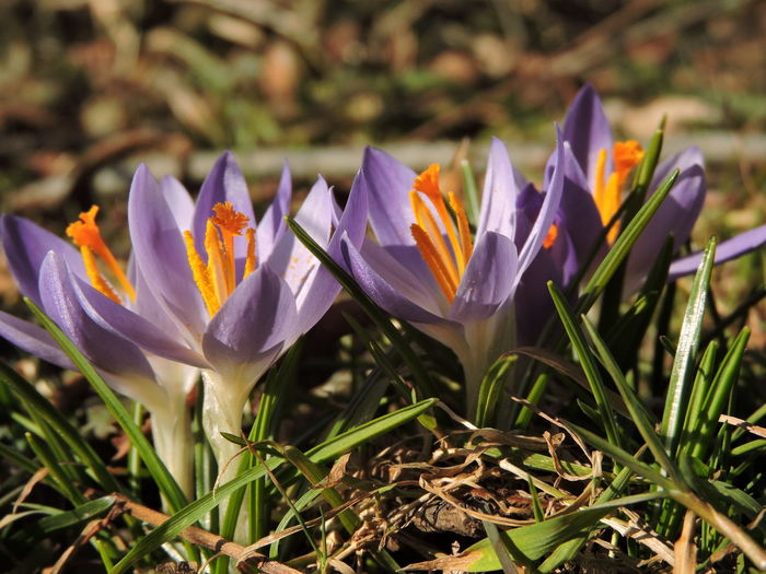 Crocus Flavus #wildflowers #guadarrama #primavera #spring #flores #nature #mountain Spring Has Arrived Beauty In Nature Close-up Crocus Day Field Flower Flower Head Flowering Plant Fragility Freshness Growth Inflorescence Iris Land Nature No People Outdoors Petal Plant Purple Vulnerability