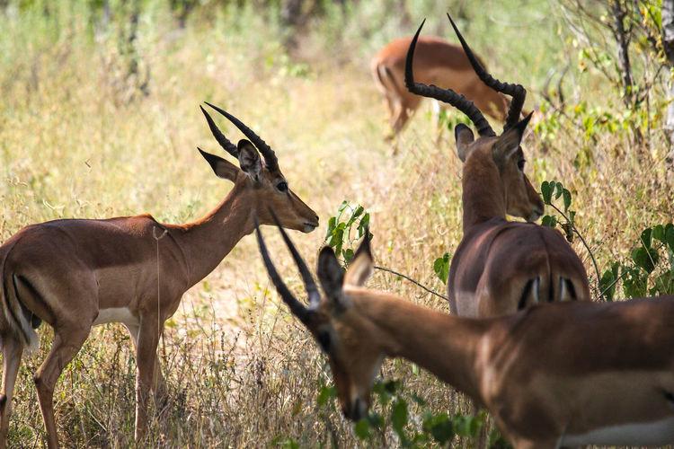 Antelopes in grass