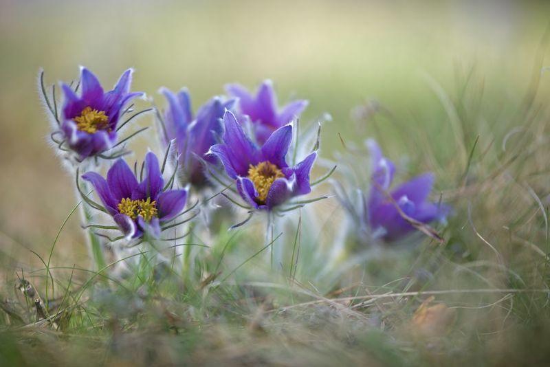 Pulsatilla vulgaris Beautiful Close-up Colorful Flowers Lilac Pulsatilla Vulgaris Sweden Nature Wildlife