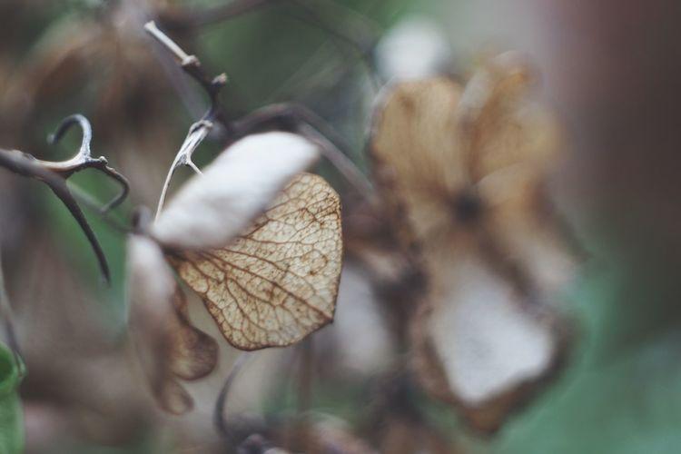 Hydrangea Hydrangeas Autumn Colors Autumn Flower Flowers Flektogon Oldlens