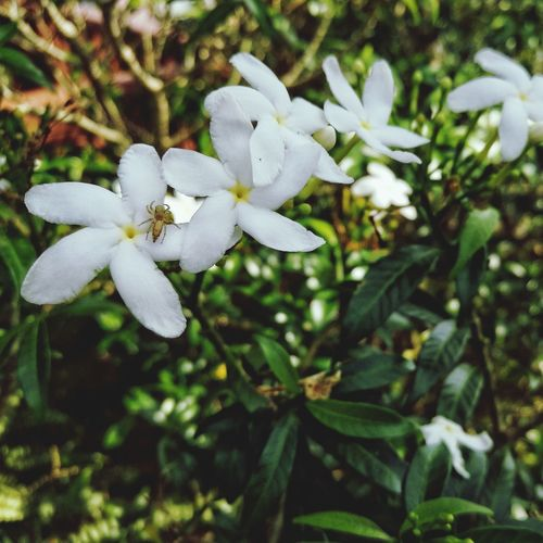 Fragrance Melur ASIA Morning EyEmNewHere White Color Flower Growth Nature Close-up No People Fragility Petal Day Plant Outdoors Flower Head Beauty In Nature Freshness Tree