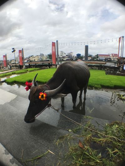 Thailand Riverside Riverside Buffalo Cloud - Sky Sky Mammal Animal Built Structure Animal Themes Architecture City Nature Water One Animal